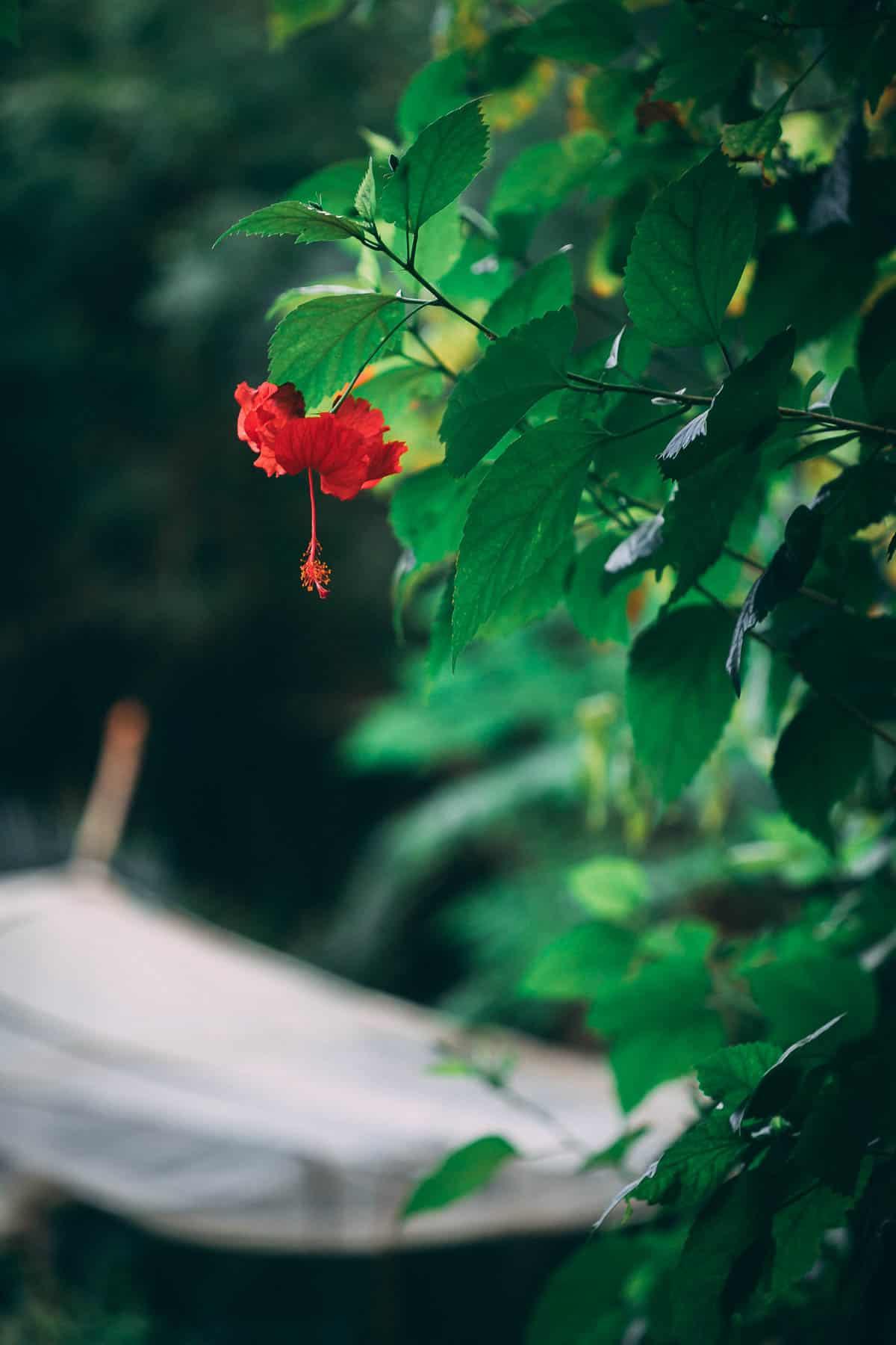 Hibiscus Tea from the garden